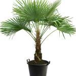 trachycarpus-fortunei-naini-tal-4