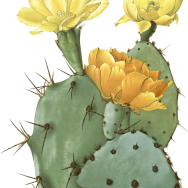 Opuntia_species