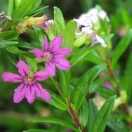 cuphea-hyssopifolia-flores