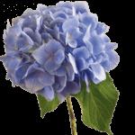 hydrangea hortenzia